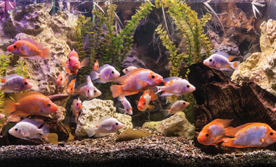 bigstock-Ttropical-Freshwater-Aquarium--46098781