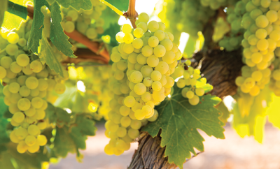 bigstock-chardonnay-Wine-grapes-in-vine-53489377