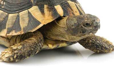 bigstock-Tortoise-on-white-78578279