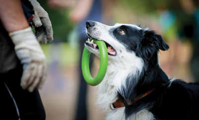 bigstock-Border-Collie-With-The-Ring-Wa-88312520