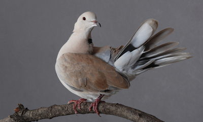 bigstock-Ring-necked-Dove-Male-34374314